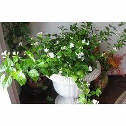 Full Sun Exposure Jasminum sambac Mogra Flower Plant, for Garden, Summer Bloom
