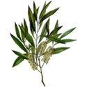 Tea Tree Oil (BP Standard)