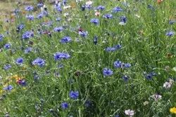 BloomyBliss Natural Cornflower seeds, Packaging Type: Packet, Packaging Size: 1gm
