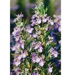 Rejuvenating Rosemary Water Soluble Fragrance