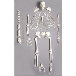 DISARTICULATED SKELETONS FOR MEDICAL STUDENTS