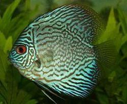 Discus Stock Fish