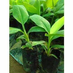 Banana Fruit Plant