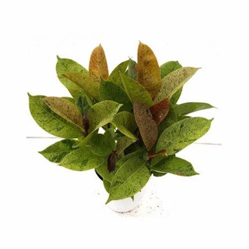 Outdoor Ficus Elastica Varigata Indoor Plant
