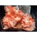 Pink Color Oyster Mushroom