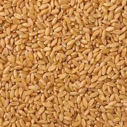 Brown Lokwan Wheat Grain, Packaging Type: Gunny Bag, Packaging Size: 50 Kg