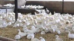 White Pekin duck chicks