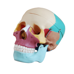 Colored Skull (Life Size) Models
