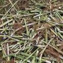 Hybrid Napier Grass Seeds