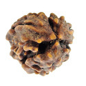 Three Mukhi Raudraksha