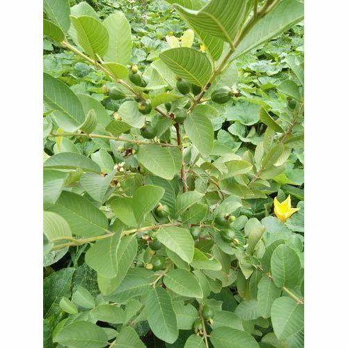 Guava Plant At Rs 55 Piece Koba