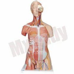 Human Torso Small (23 Part) Model