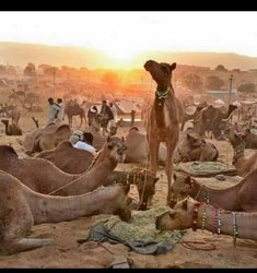 Camel Milk 1 Litre