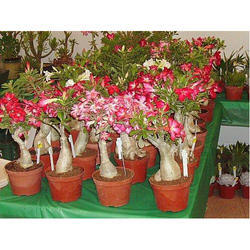 Adenium Plant - Wholesale Price & Mandi Rate for Adenum Plant