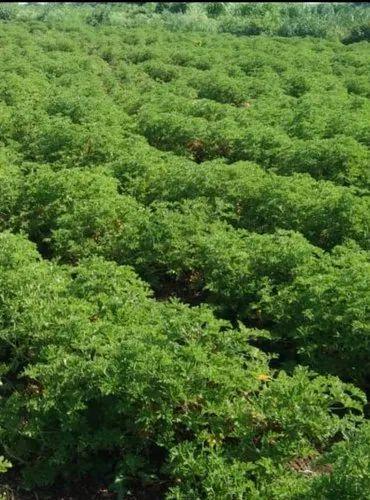 Annonaceae Pleasant Geranium Plant