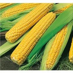 Store In Cool And Dry Place Organic Yellow Corn Maize, High in Protein, Packaging Type: Pp Bag