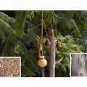 Parkia Biglandulosa Tree