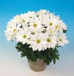Victor White Chrysanthemum Pot Plant