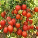 Arka Rakshak Tomato Seeds