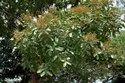 Sapindus Emarginatus Plants