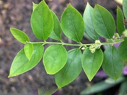 Parijat Leaves / Harsingar / Nyctanthes Arbortristis