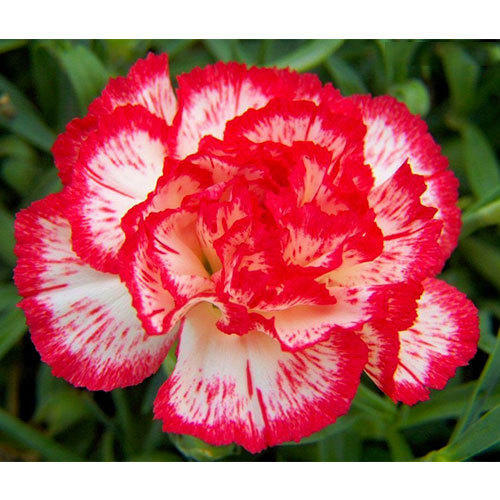 Red and white carnation flower carnation flowers rathna red and white carnation flower mightylinksfo