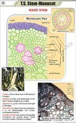 TS Stem Monocot  For Botany Chart