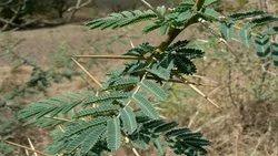 Babool Bark / Acacia Nilotica