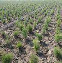 Dry Shatavari Roots