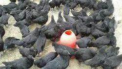 Kadaknath Chicken in Bengaluru - Latest Price & Mandi Rates from