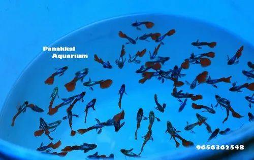 Guppy Fish Farm