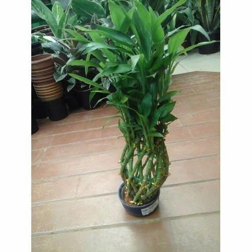 Outdoor Decorative Plant Fresh Flowers Plants Trees Rana