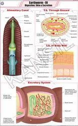 Earthworm -III For Zoology Chart