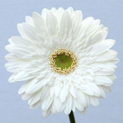 Balance gerbera flower at rs 6 piece bhuvaneshwari nagar balance gerbera flower mightylinksfo