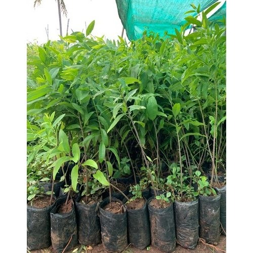Acidic Sandalwood Plant Rs 35 Bag Rajasri Nursery Landscaping Works Id 21751602312