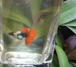 Platinum Dumbo Guppy Fish