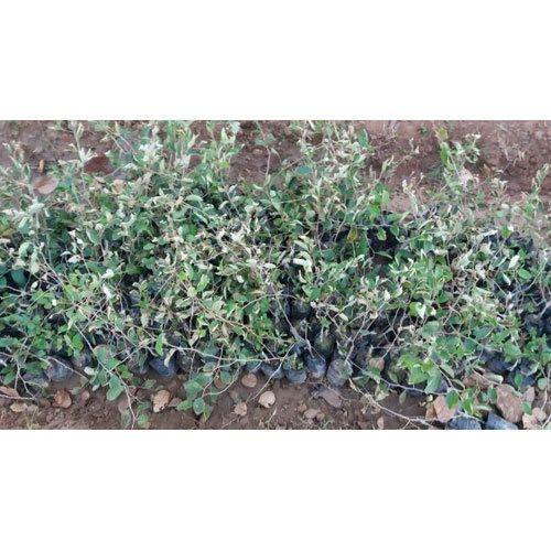 Mahogany Plant Trees