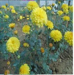 Chrysanthemum Poornima Yellow Plant