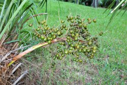 Saw Palmetto Oil For Supplement