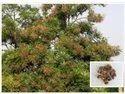 Simarouba Glauca Plants