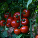 Hybrid Tomato Seeds TM - 1704