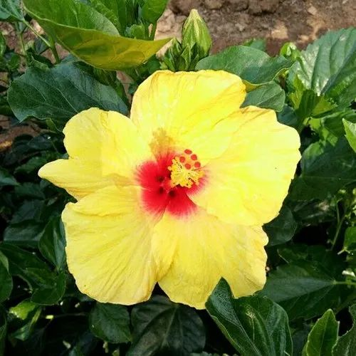 Hibiscus Plants Chinese Hibiscus Rose Mallow Shoe Flower