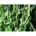 Cissus Qudrangularis Dry Plant