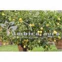 Kagdi Lemon Plants