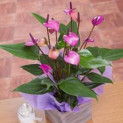 Purple Anthurium Plants