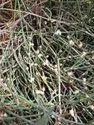 Somlata Herb