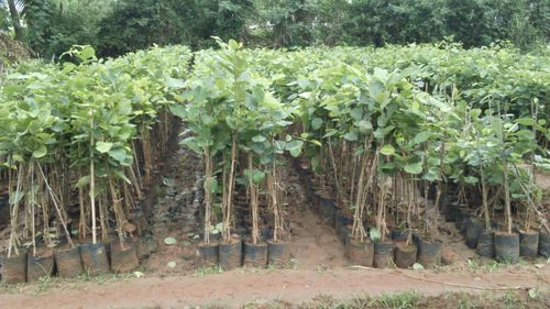Image result for chandan farming