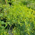 Organic Dill Seed Oil