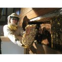 Honey Bee Hive Removal Service