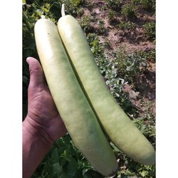 A Grade Green Bottle Gourd, Gunny Bag, 10 Kg